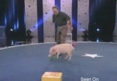 Enlace a Los cerdos son más inteligentes de lo que crees