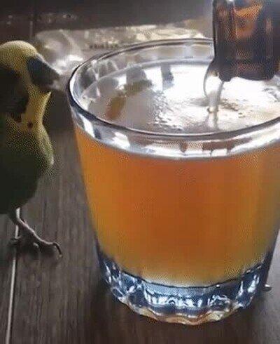 Enlace a A este pájaro le gusta demasiado la cerveza