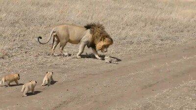 Enlace a Leoncillos aprendiendo a ser el rey de la selva