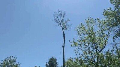 Enlace a Talando la copa del árbol y por poco no lo cuenta