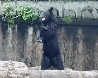 Enlace a Un oso haciendo kung fu. No estamos preparados para sobrevivir a esto