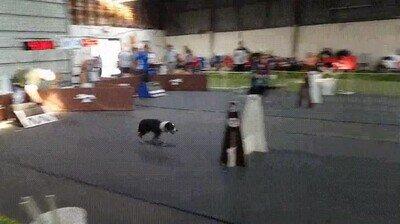 Enlace a Flash se ha reencarnado en uno de estos perros