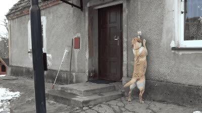 Enlace a Perros educados que llaman a la puerta antes de entrar