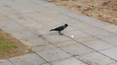 Enlace a Un grupo de cuervos me está retando a un partido de fútbol