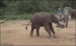 Enlace a GIF: Elefantes con más dotes futbolísticos que Pedro