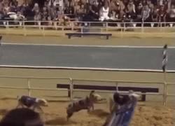 Enlace a GIF: Menuda foto finish en una carrera de cerdos