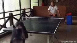 Enlace a GIF: Cuando hasta un chimpancé juega mejor que tú a pingpong