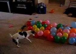 Enlace a ¿Le darán algún premio por reventar todos los globos?