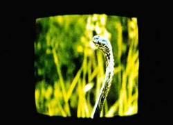 Enlace a Hacer una cobra