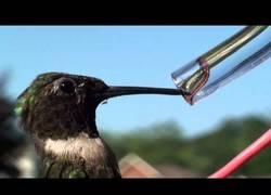 Enlace a ¿Viste alguna vez beber a los colibríes?
