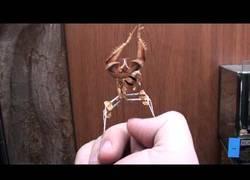 Enlace a Lucha encarnizada entre una mantis y un pulgar