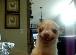 Enlace a El Chihuahua del infierno