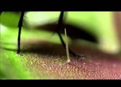 Enlace a Primer plano de la venus atrapa-moscas