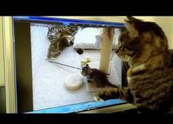 Enlace a Reacción de una gata ante sus gatitos en vídeo