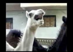 Enlace a El camello que dobla la risa de Peter Griffin