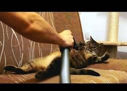 Enlace a La aspiradora es un dulce placer para los gatos