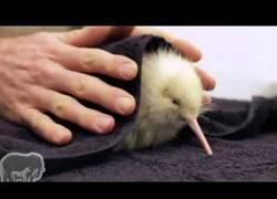 Enlace a Encuentran a un kiwi albino en Nueva Zelanda