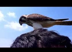 Enlace a No parece que este halcón se asuste mucho de las personas, no...