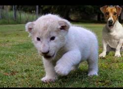Enlace a Este cachorro de león albino ha encontrado un gran amigo en este perro