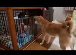 Enlace a Perro suplicando a su amigo el gato que salga a jugar