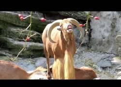 Enlace a Este carnero tiene una manera muy curiosa de balar