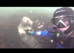 Enlace a Foca salvaje dejándose acariciar por esta submarinista