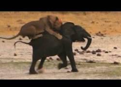 Enlace a León atacando a un elefante joven, la naturaleza es así de cruda