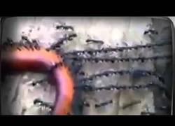 Enlace a Hormigas trabajan en equipo creando largas cadenas para mover una lombriz