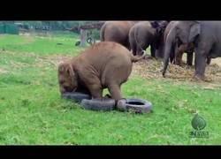 Enlace a Este elefante jugando con su neumático te alegrará el día