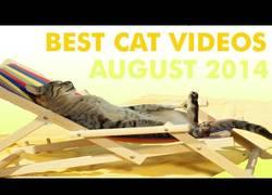 Enlace a Los mejores vídeos de gatos de este mes