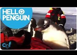 Enlace a Bebé pingüino saltando encima de un humano