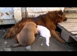 Enlace a Este gatito fue abandonado pero esta mamá perro está dispuesta a amamantarlo
