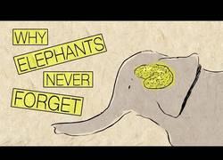 Enlace a ¿Por qué los elefantes nunca olvidan? [Subtítulos]