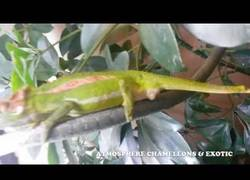 Enlace a Así de espectacular es el nacimiento de un camaleón
