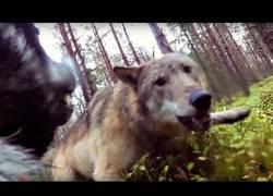 Enlace a El momento terrorífico donde un perro es atacado por una manada de lobos, grabado desde una GoPro