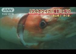 Enlace a Atención al increíble calamar encontrado en aguas de Japón