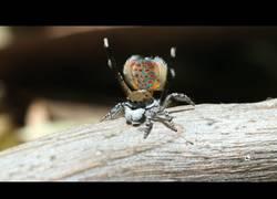 Enlace a La increíble e hipnotizante danza de esta araña