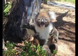 Enlace a Este koala expulsa del árbol al otro koala y pilla un berrinche tremendo