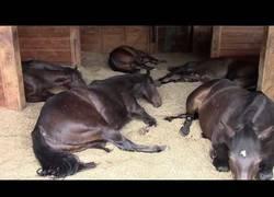 Enlace a Ella chica se encuentra con 7 caballos durmiendo en el establo. ¡Pero al prender la cámara... ¡UY!