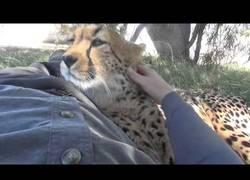 Enlace a Este hombre le echa mucho valor con esta hembra de guepardo. Él y su cámara. Nadie más.