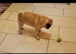 Enlace a Los humanos no son los únicos que odian el brócoli, los perros también lo odian