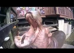 Enlace a Este hipopótamo se come sandías como si fueran caramelos