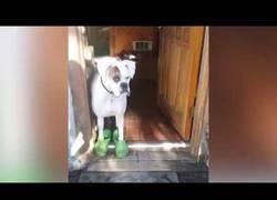 Enlace a Este perro no puede vivir sin sus crocs