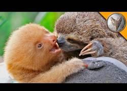 Enlace a Así se comportan un oso perezoso de tres dedos y otro de dos dedos