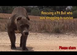 Enlace a Rescate de una miedosa Pit Bull que estaba luchando para sobrevivir