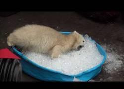 Enlace a No sabrás lo que es la felicidad hasta que veas a este oso polar jugando con cubitos de hielo