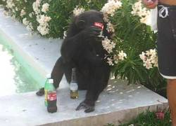Enlace a Mono fumando y bebiendo cerveza, de tranquileo