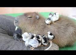 Enlace a La paz interior de esta capibara con pajaritos a su alrededor