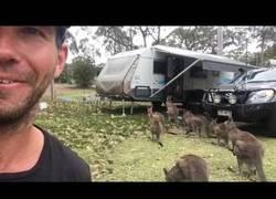 Enlace a ¿Recuerdan al canguro que se coló en una caravana? Ha vuelto y no está solo...