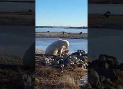 Enlace a Las enormes muestras de cariño de este oso polar a un perro